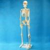 Модель Скелет человека 85 см (на штативе)