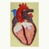 Барельефная модель Строение сердца человека